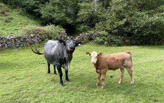 how to deal with cows when running